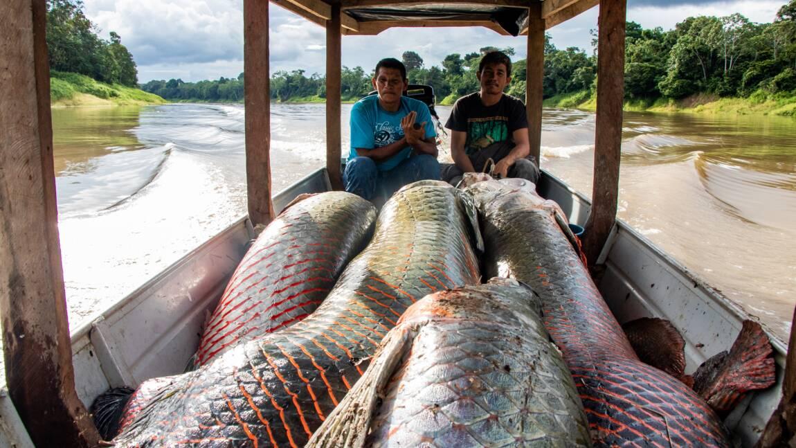 Le pirarucu, poisson géant d'Amazonie prisé par les gastronomes