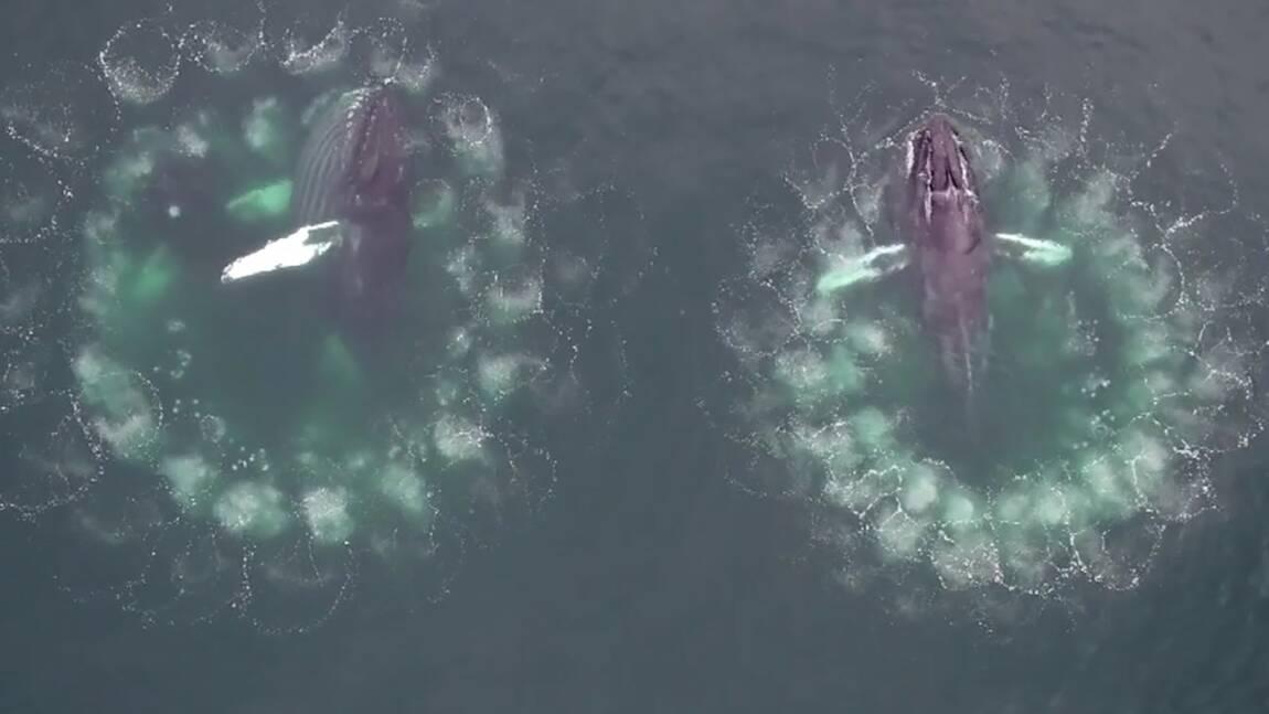 """Comment les baleines à bosse fabriquent des """"pièges"""" à bulles pour capturer leurs proies"""