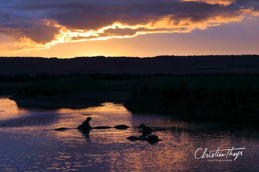 Bâillement d'hippopotames au coucher du soleil