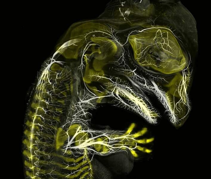 3. Un spectaculaire embryon d'alligator, grossi 10 fois