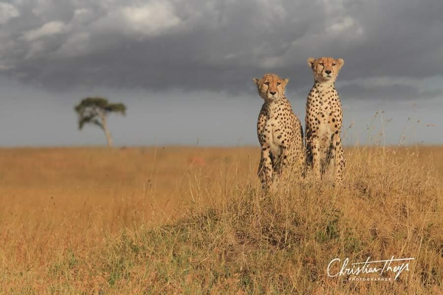 Deux frères guépards inséparables