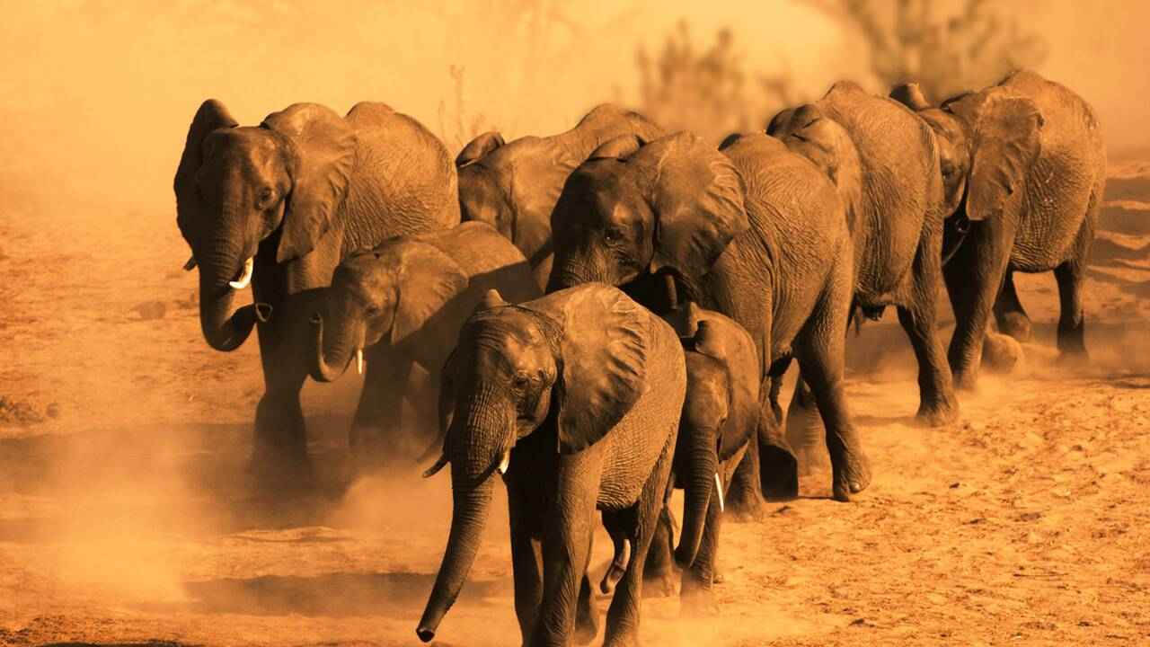 Au Botswana, une centaine d'éléphants sont morts à cause de la sécheresse