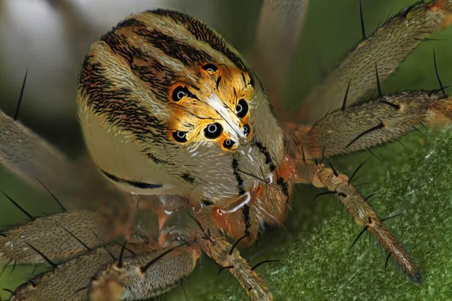 14. Une femelle araignée Oxyopes dumonti