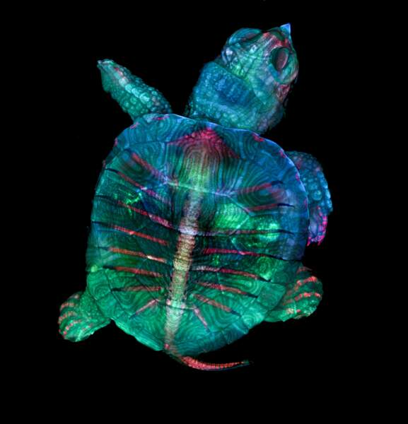 1. Un embryon de tortue fluorescent, grossi 5 fois