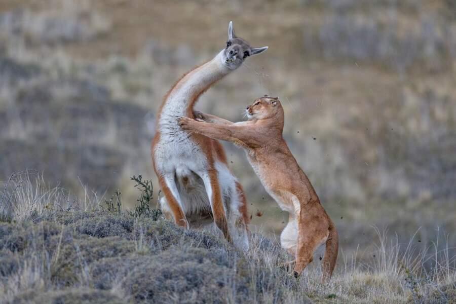 En Patagonie, Guanaco VS puma