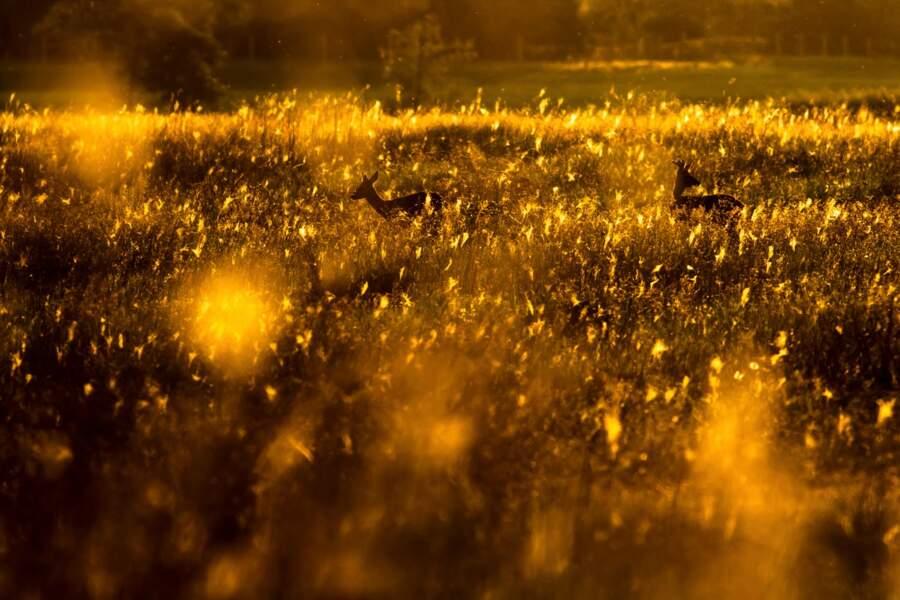 Prairie scintillante