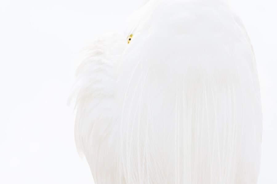 Grande aigrette blanche