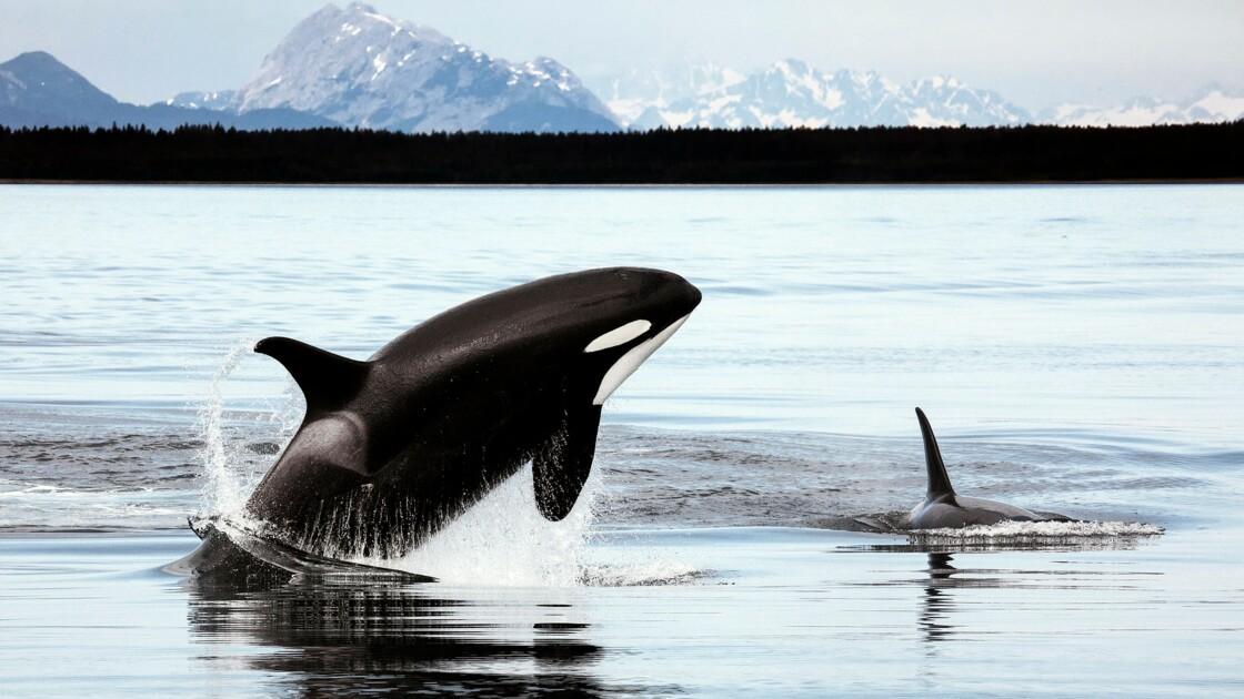 L'orque, un prédateur dangereux ?