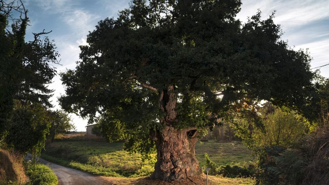 Arbre de l'année 2019 : votez pour les plus beaux arbres du patrimoine français