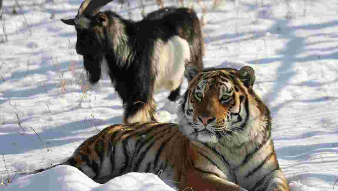En Russie, mort d'un bouc devenu le meilleur ami d'un tigre