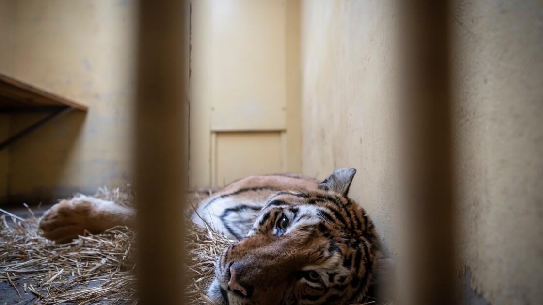 Pologne: élan de solidarité autour de neuf tigres ayant échappé à la mort