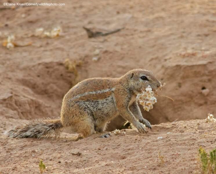 Ecureuil de terre du Cap, Kalahari, Afrique du Sud (meilleur portfolio)