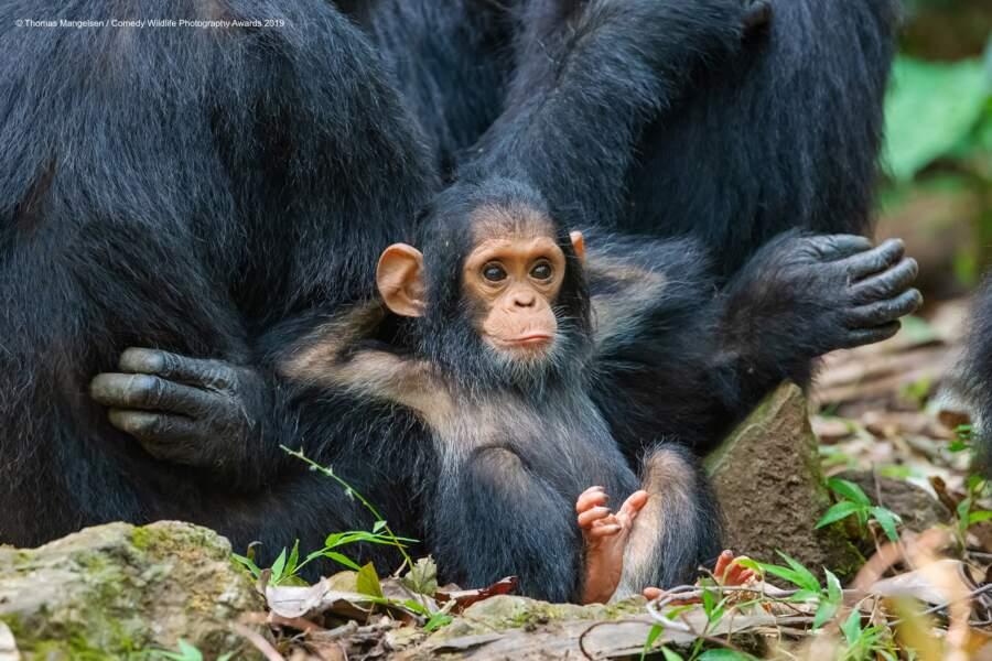 Chimpanzées dans le parc national de Gombe Stream en Tanzanie (félicitations du jury)