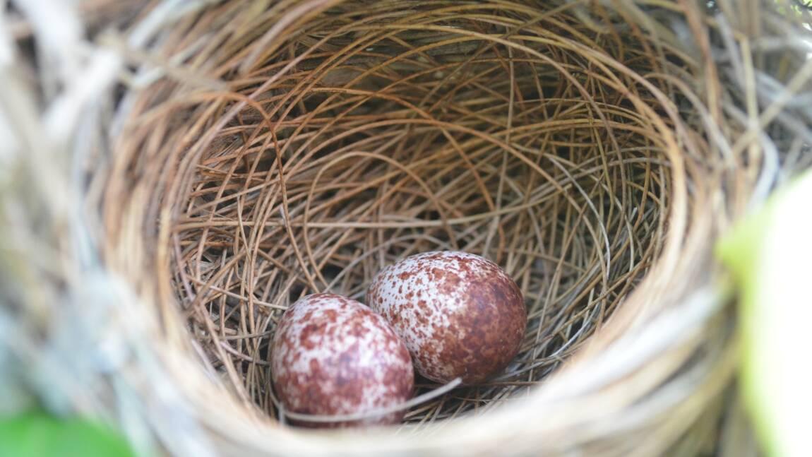 Pourquoi les oeufs des oiseaux ont-ils des couleurs différentes en fonction des espèces ?