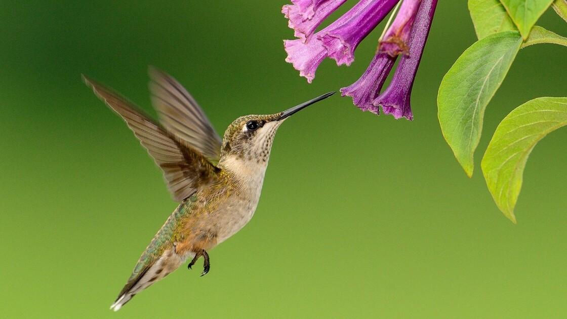 Les 5 infos à savoir sur le colibri