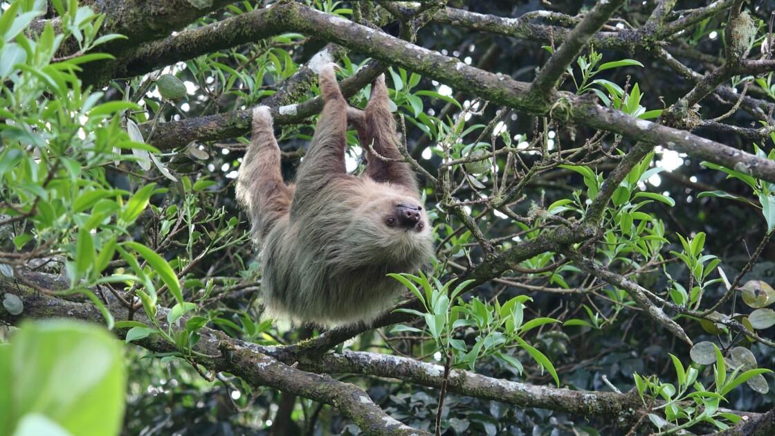 Les 5 infos insolites à savoir sur le paresseux