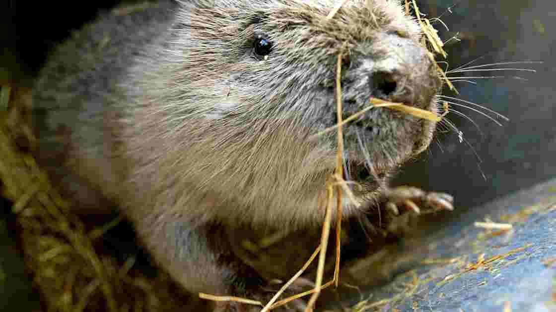 Au Royaume-Uni, les castors appelés à la rescousse contre les inondations