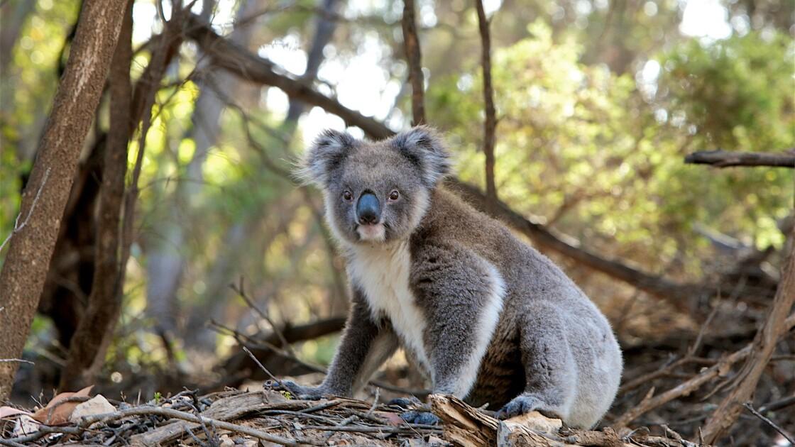 Australie : des chiens renifleurs dressés pour sauver les koalas des incendies