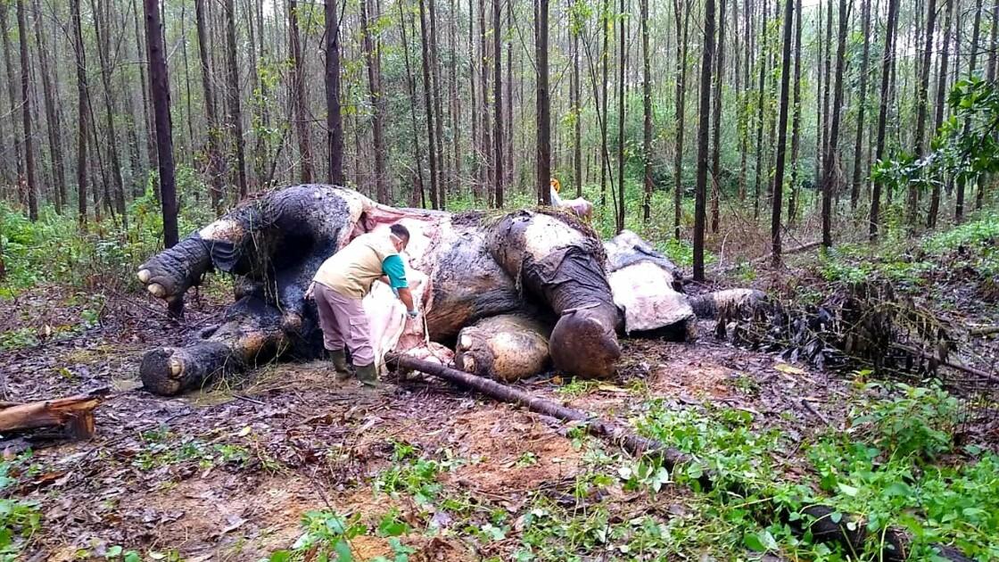 Indonésie: un éléphant de Sumatra retrouvé décapité