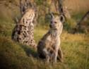 La hyène, les secrets d'un animal mal-aimé