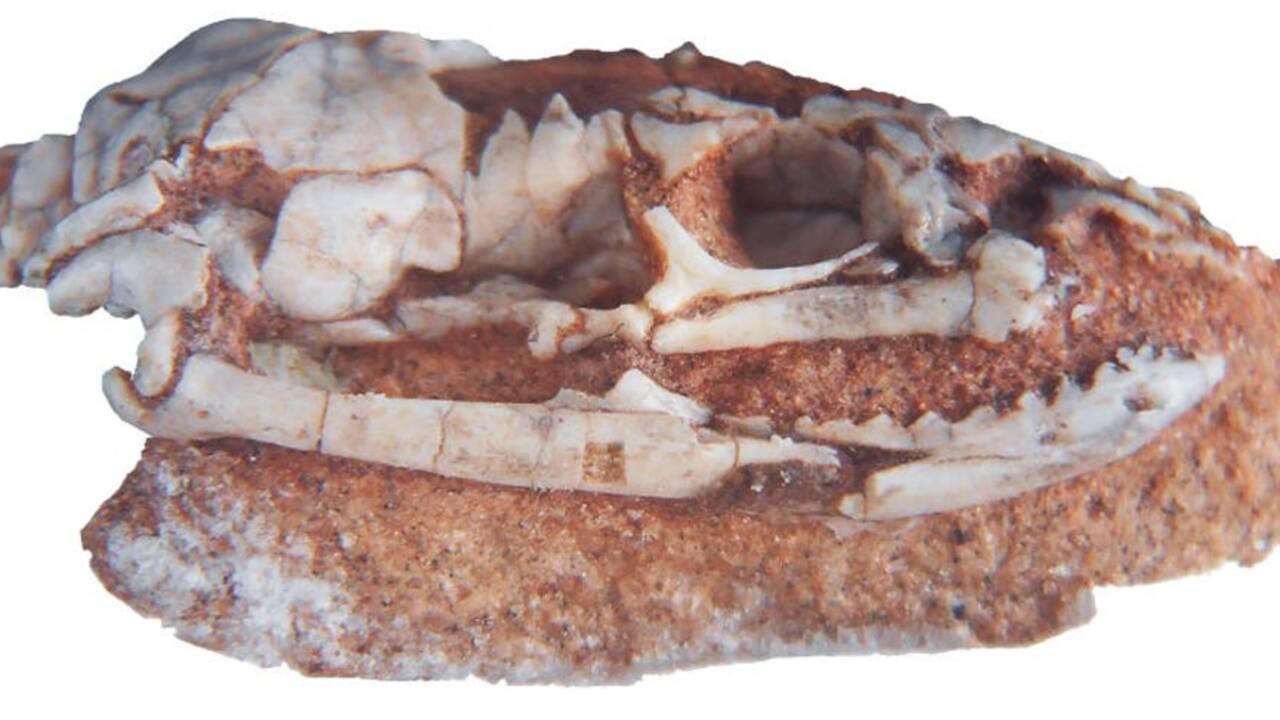Le fossile d'un serpent vieux de 95 millions d'années éclaire l'évolution des reptiles