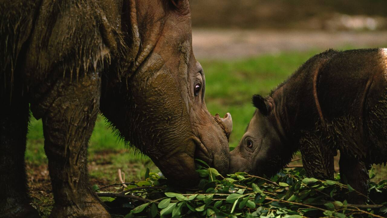 Le dernier rhinocéros de Sumatra vivant en Malaisie est mort