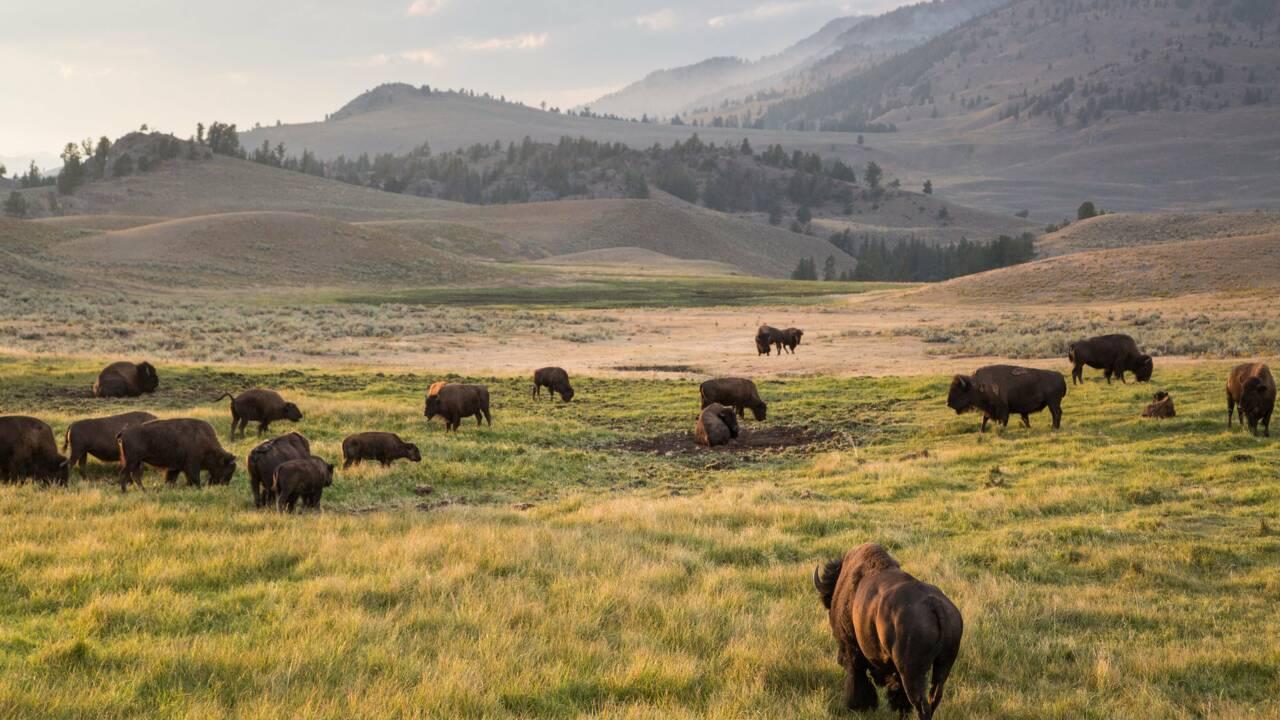 A Yellowstone, les bisons manipulent le printemps pour mieux se nourrir