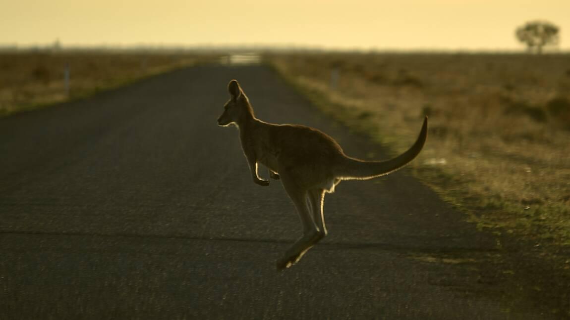 En Australie, un tueur en série de kangourous évite la prison