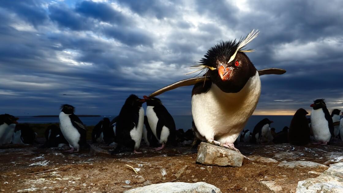 Les îles Malouines, ce sublime sanctuaire pour la faune marine
