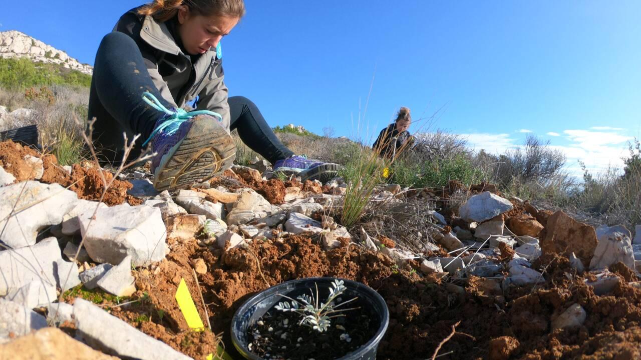 Dans les calanques, un travail minutieux pour réintroduire une plante menacée