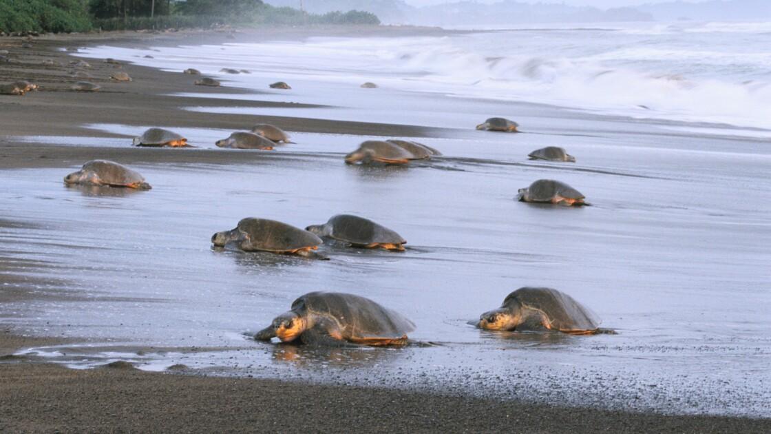 Une impressionnante nuée de milliers de tortues marines filmée au large du Costa Rica