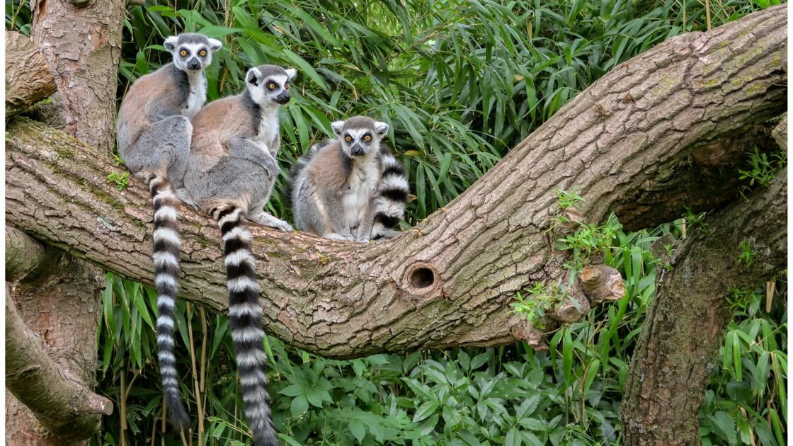 Tout ce que vous ignorez sur le lémurien de Madagascar