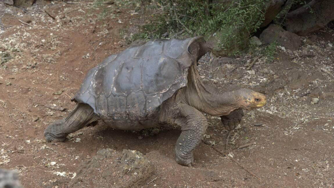 Galapagos: amende salée pour un chauffeur coupable d'avoir écrasé une tortue