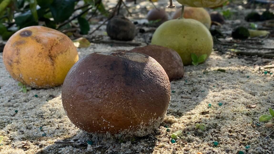 Rien n'arrête (ou presque) la bactérie qui tue les orangers de Floride