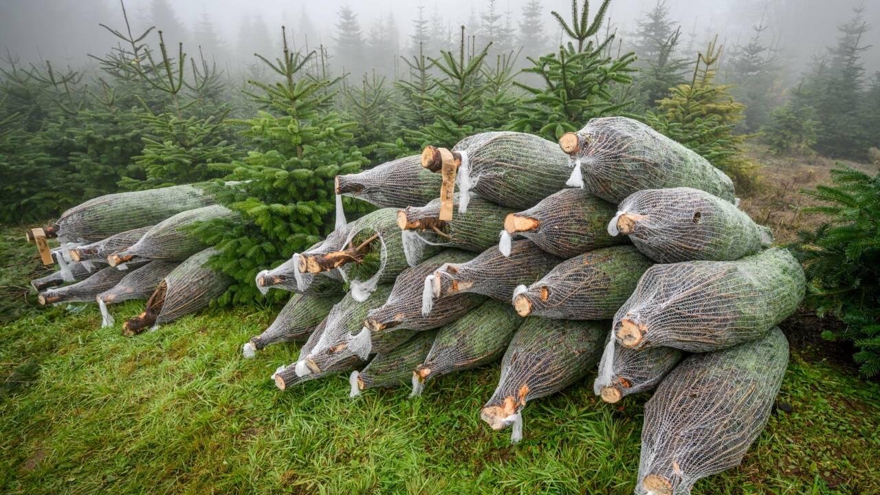 Les sapins de Noël souffrent, eux aussi, du réchauffement climatique