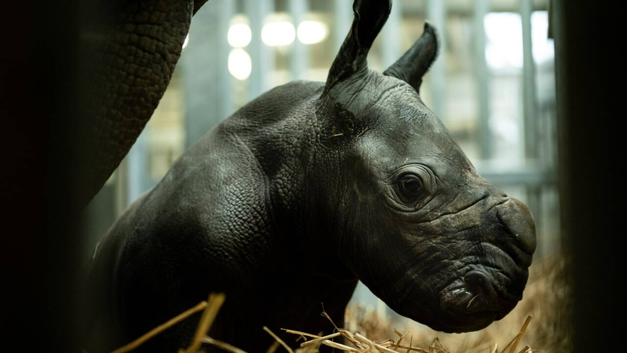 Belgique: naissance en captivité d'un rhinocéros blanc