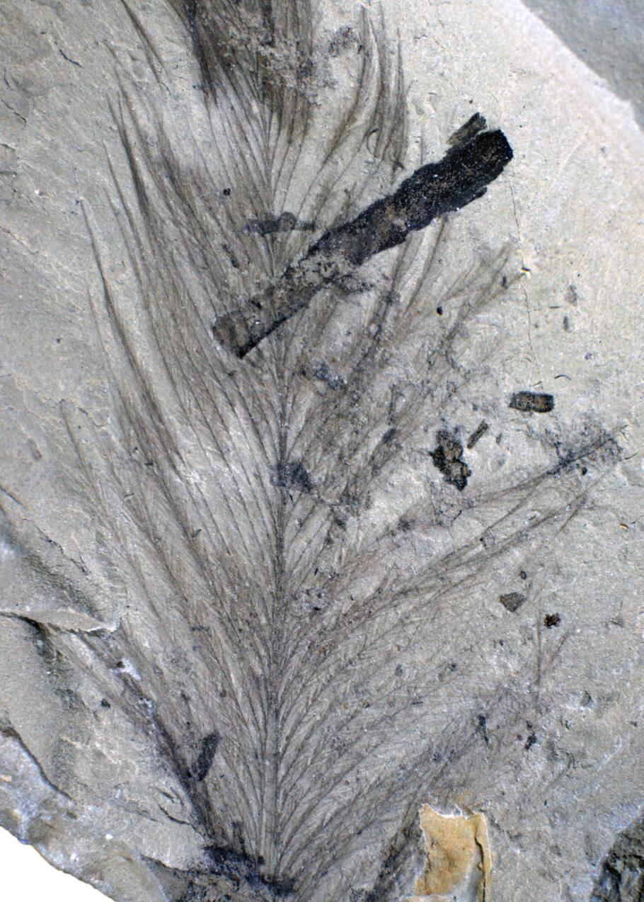 De rares plumes fossilisées de dinosaure découvertes en Australie