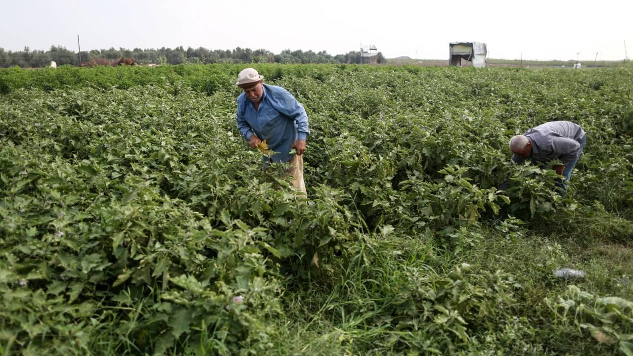 Gaza: des champs ravagés par les herbicides israéliens retrouvent une vie fragile