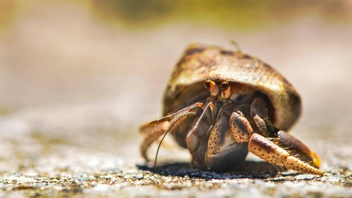 Tout savoir sur le bernard-l'ermite, voleur de coquille