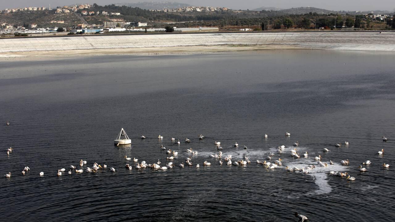 Pélicans contre pisciculteurs, le conflit insoupçonné d'Israël