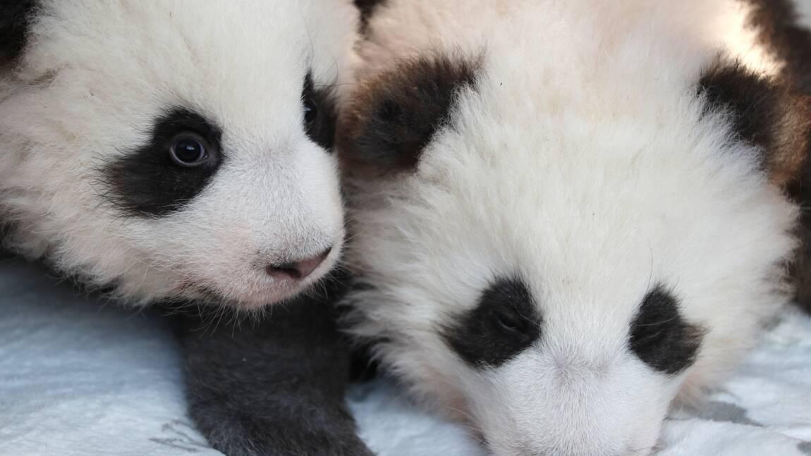 Les deux pandas du zoo de Berlin baptisés Meng Yuan et Meng Xiang