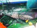 Pêche : poser des lumières sur les filets pourrait aider à sauver des tortues et des dauphins
