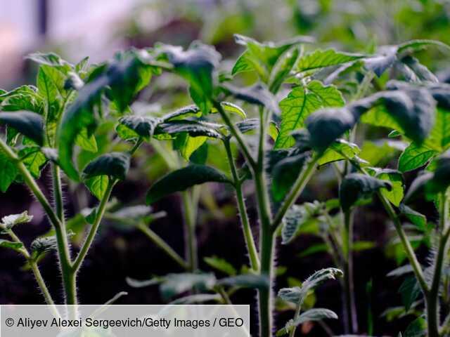 """Face au stress, certaines plantes se mettraient à """"crier"""""""
