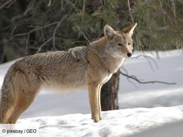 Les 5 infos à savoir sur le coyote