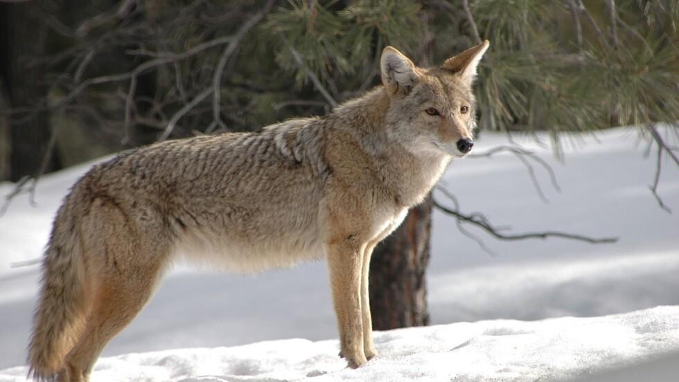 5 infos à savoir sur le coyote
