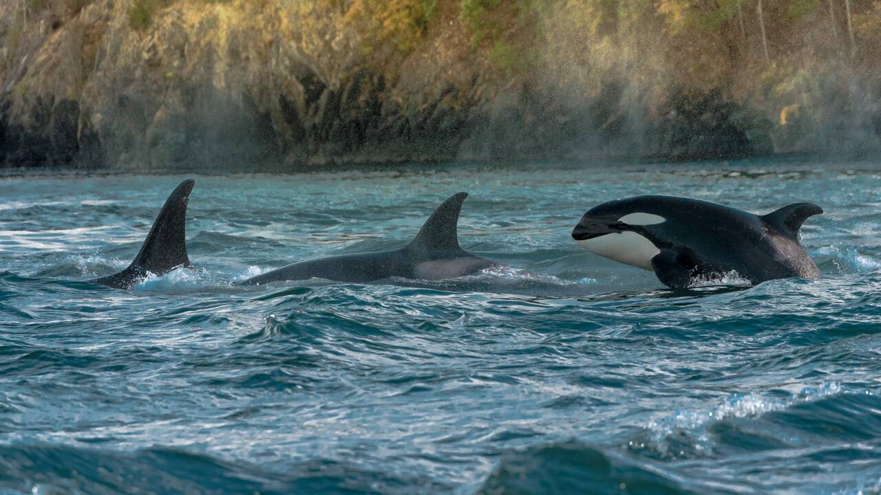 Chez les orques, les grands-mères favoriseraient la survie de leurs petits-enfants