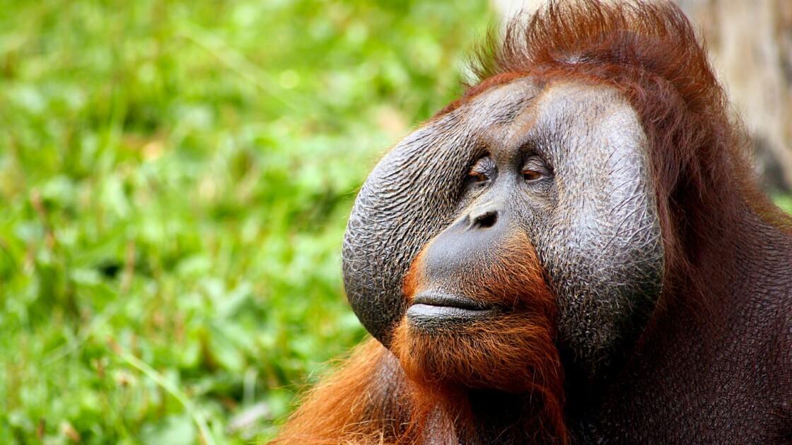 En Indonésie, des chercheurs tentent de comprendre le langage des orangs-outans