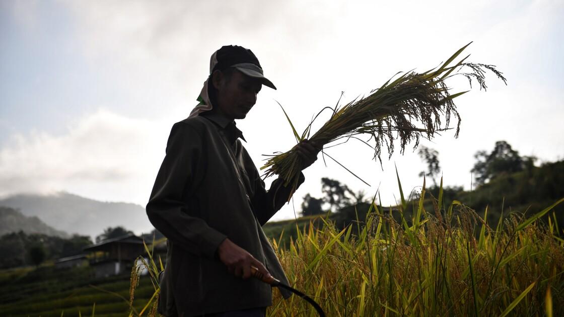 Arroser moins pour récolter plus: le riz thaï qui défie la sécheresse