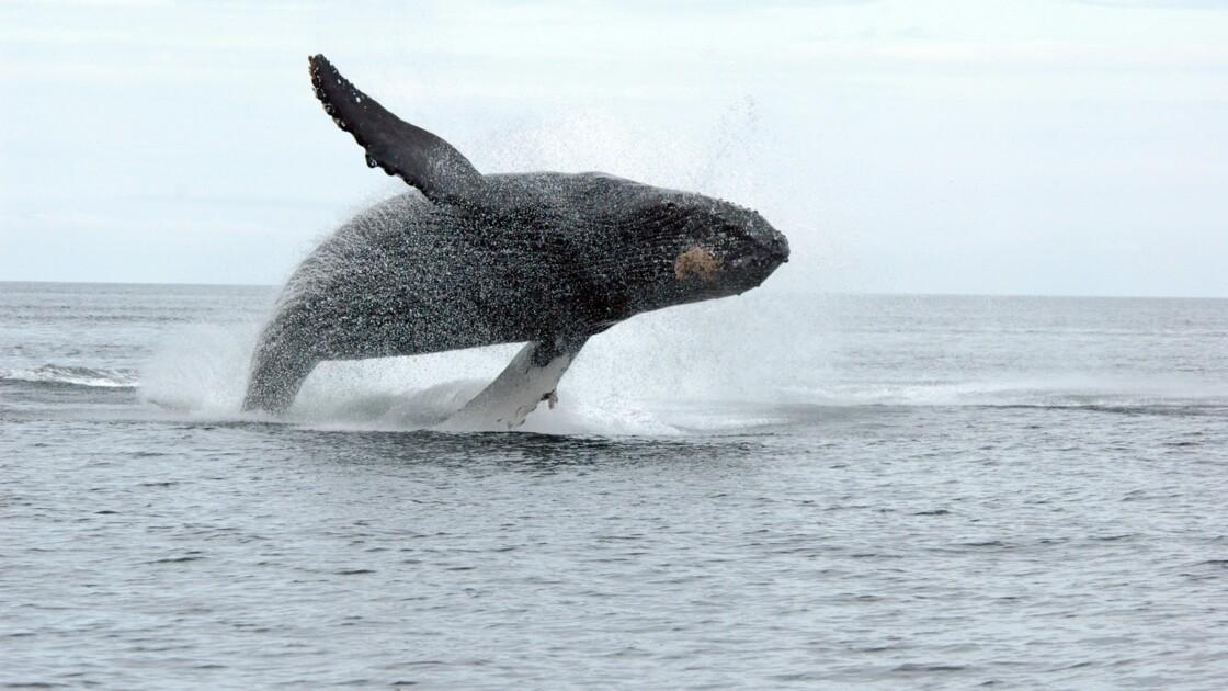 Canada: condamné pour s'être approché trop près d'une baleine