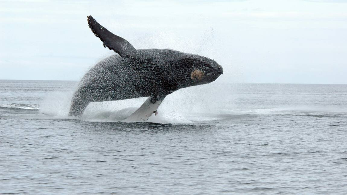 Canada : égarée, une baleine à bosse aperçue à Montréal